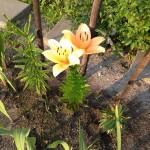 Gele lelies - week 30