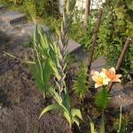 Donkerpaarse gladiolen - week 30